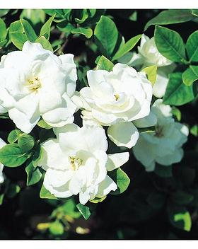 vetchii gardenia.jpg