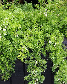 Asparagus fern.jpg