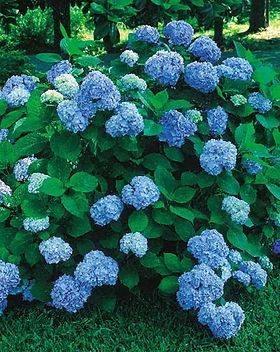 nikko blue hydrangea.jpg