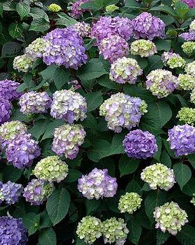 Bloomstruck hydrangea.jpg
