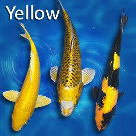 yellowKoi-280.jpg