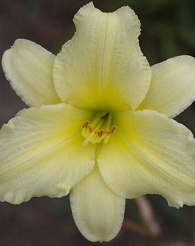 May_May daylily.jpg