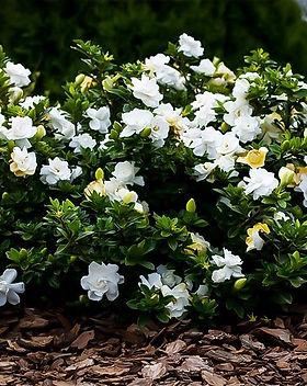 Radicans Gardenia.jpg