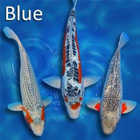 blueKoi-280.jpg