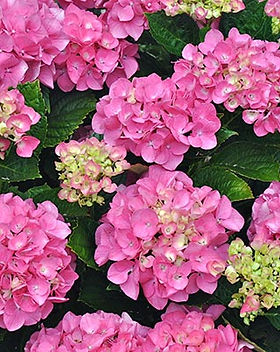 Hydrangea-Forever-Pink.jpg