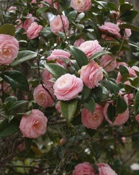 Camellia Japonica.jpg