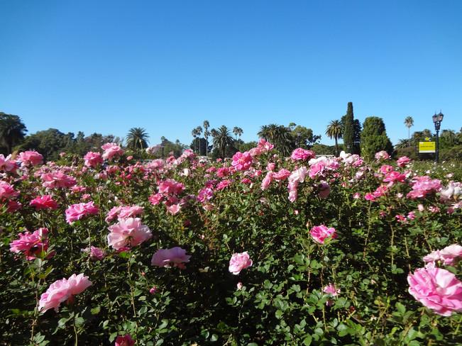 rosas para ellas