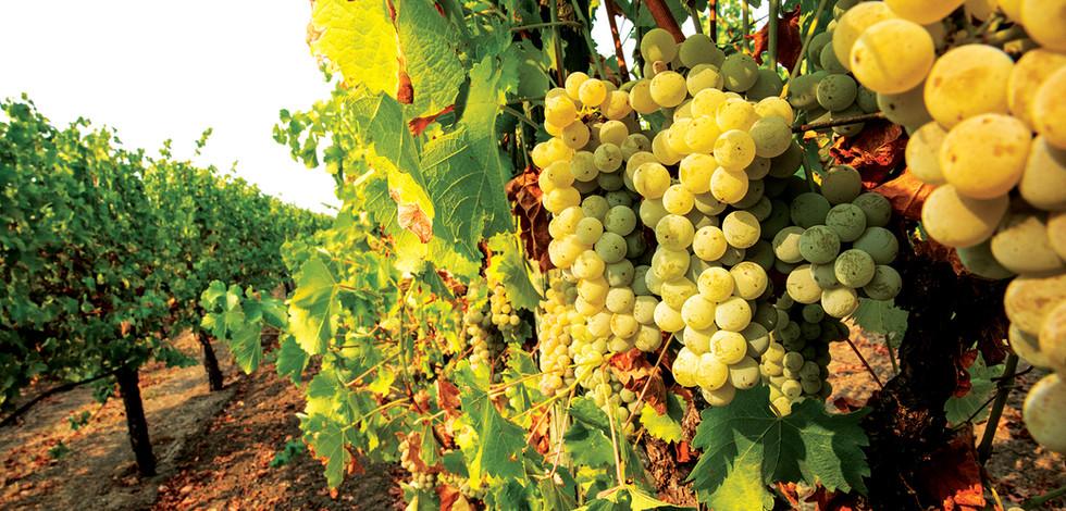Kelley-and-Young-Wine-Sonoma_Sauvignon-B