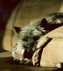cairn-terrier-graffiti_clementine-k