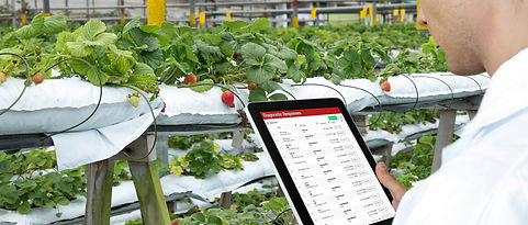 Auditor using the QuantumLeap audit application at a strawberry producer