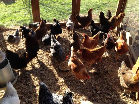 Chicken Spa Day
