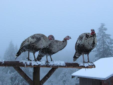 Snow Turkeys