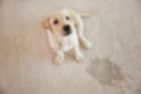 labrador-retriever-puppy-looking-up-wet-