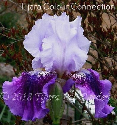 Tijara Colour Connection