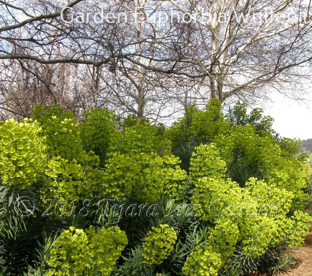Garden Euphorbia Wulfenii.JPG