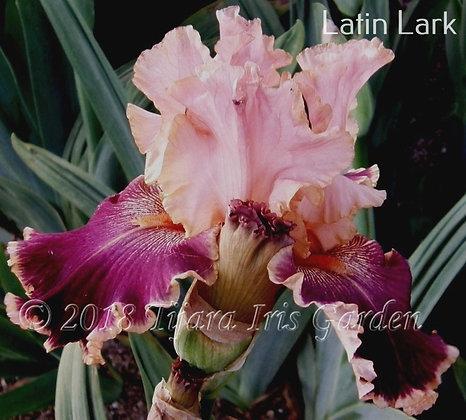 Latin Lark