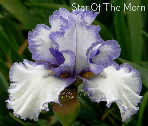 Star of the Morn