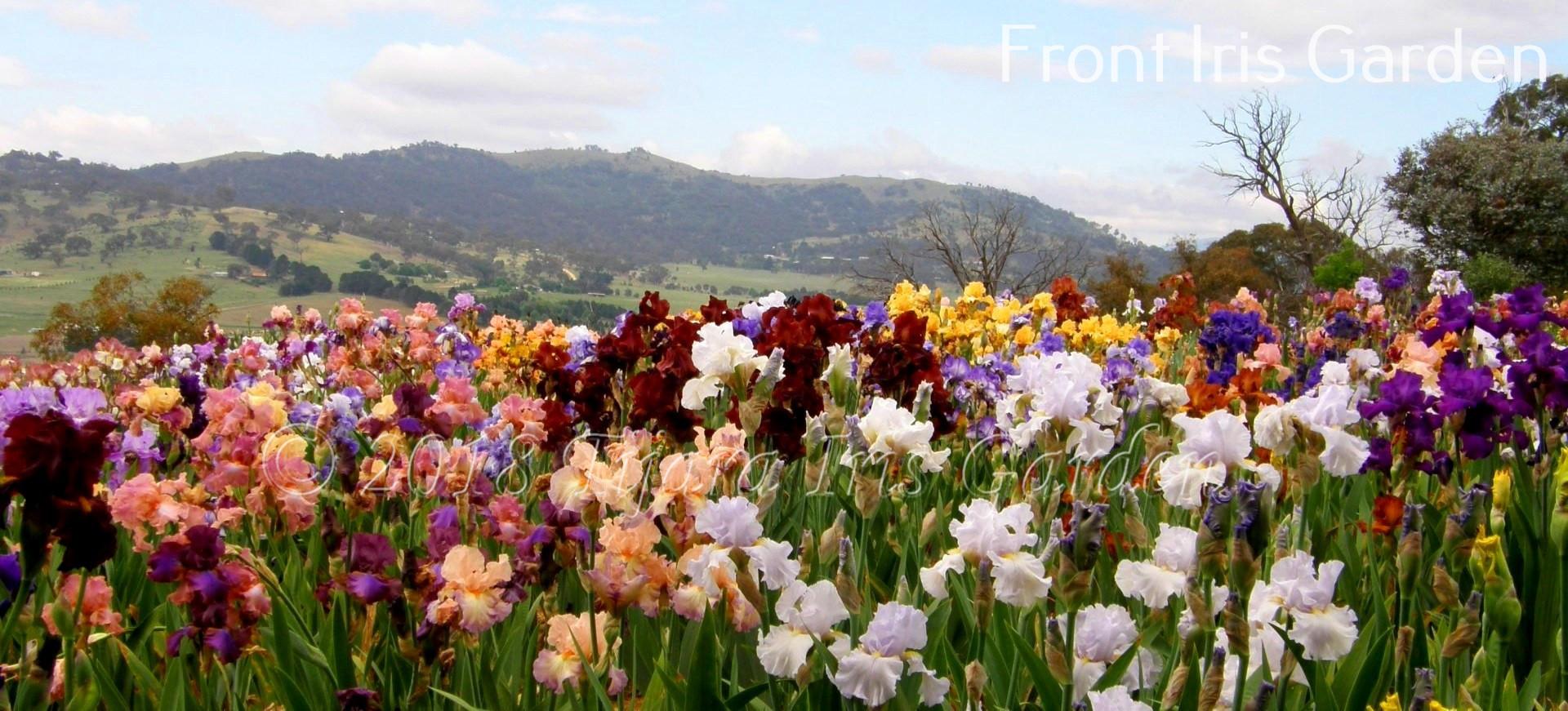 Front Iris Garden.JPG