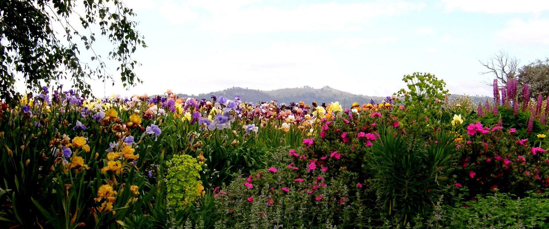 Tijara Iris Garden Best Photo.JPG