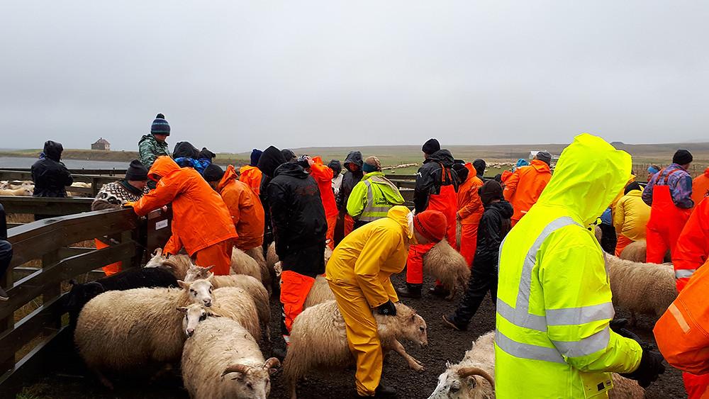 sheep sorting