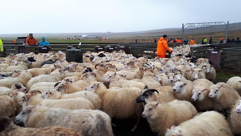 sheep roundup