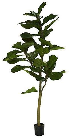 Fiddle leaf fig tree coastal decor