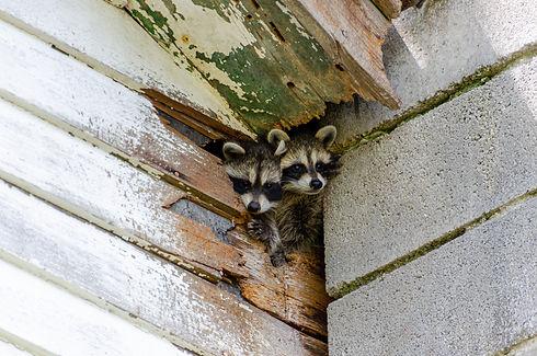 Raccoons in house.jpeg