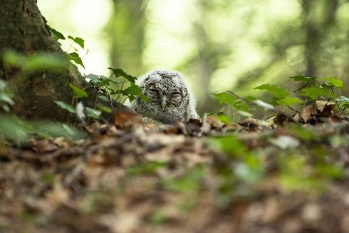 Owl baby on ground.jpeg