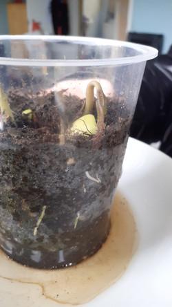 Bean In A Pot! Germination.