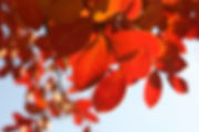 Blatt rot HP.jpg