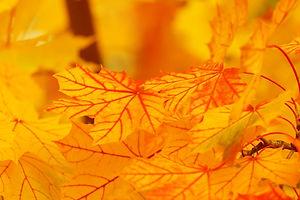 Blatt gelb HP.jpg