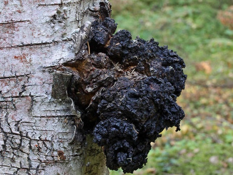 10 unknown facts about Chaga