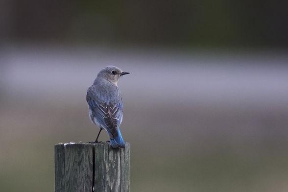 bluebird-2252927_1920.jpg