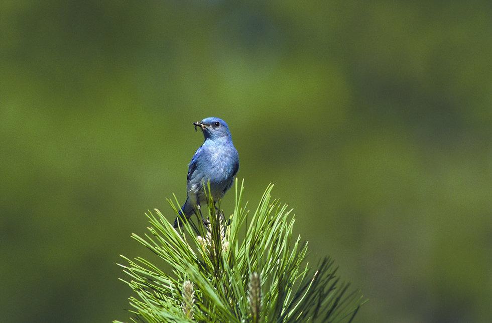 mountain-bluebird-541378.jpg
