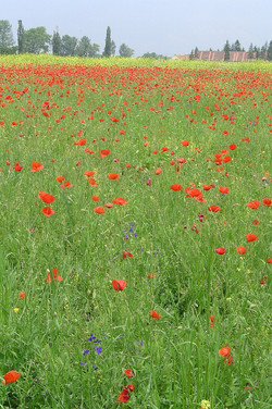 Poppies at Cristian