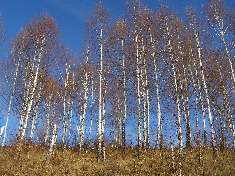 Singing Birches