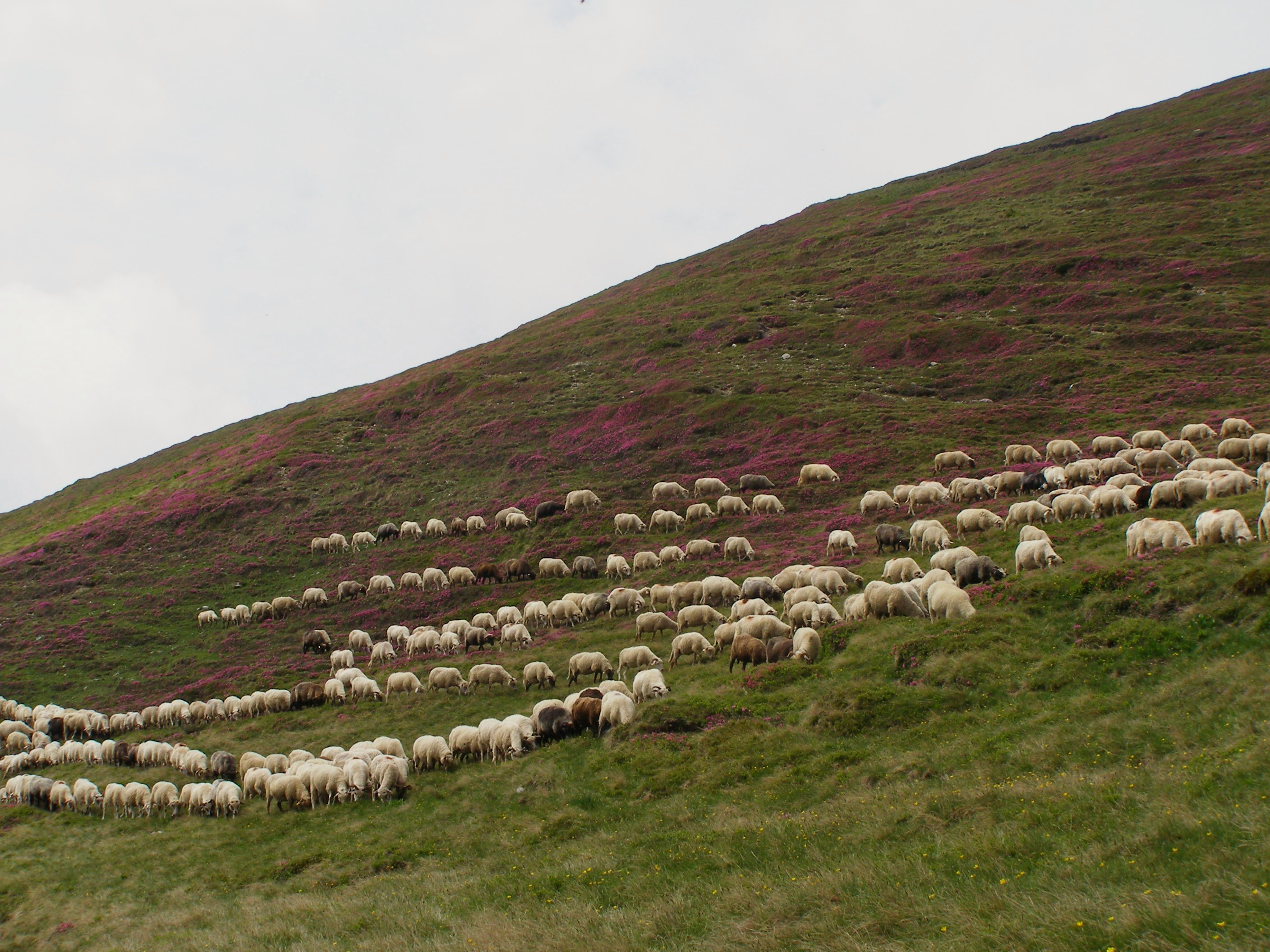 Rhododendrons ... and sheep