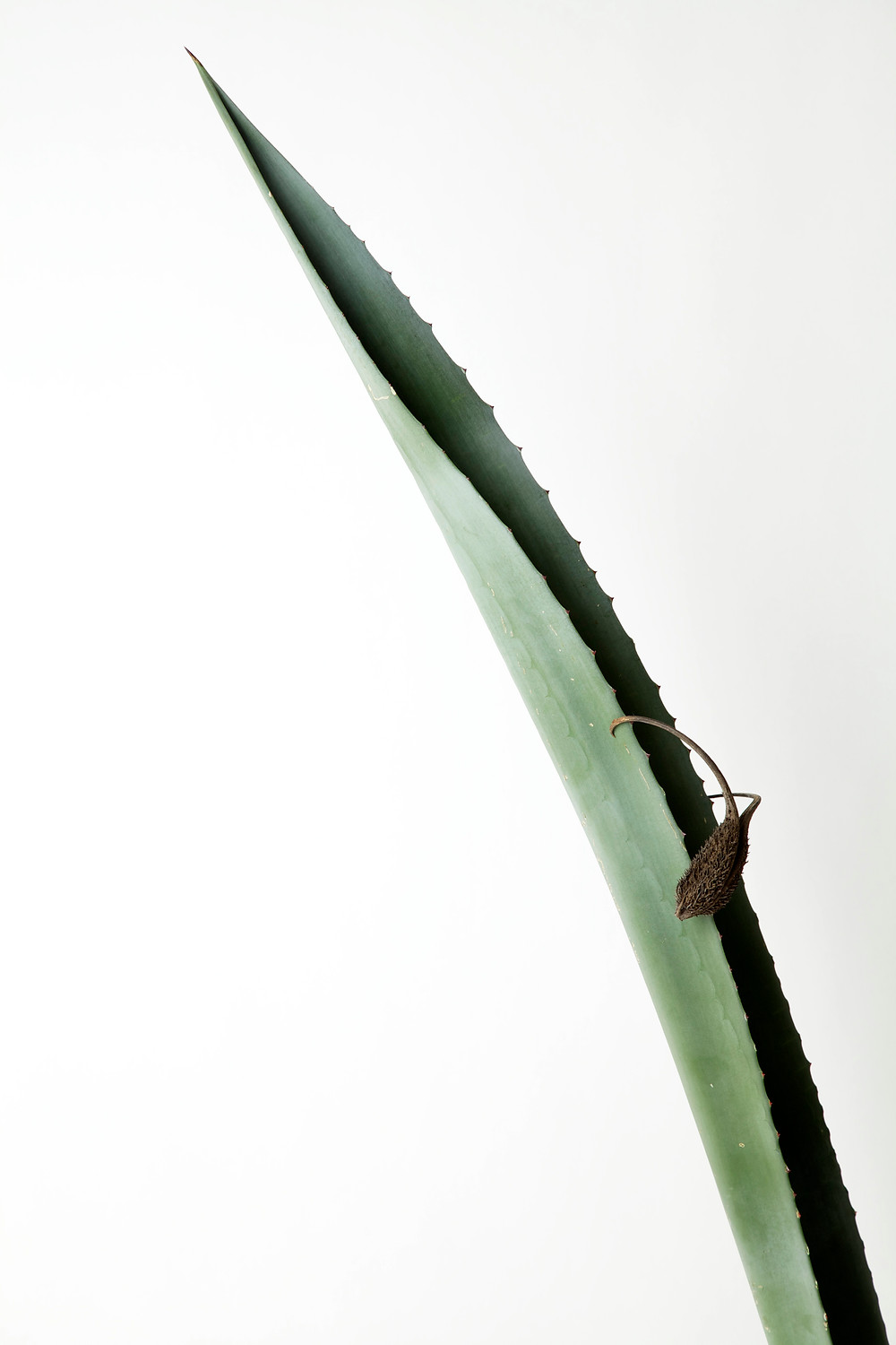 vega. agave with devil's claw