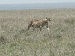 2008 Africa Tanzania safari leopard