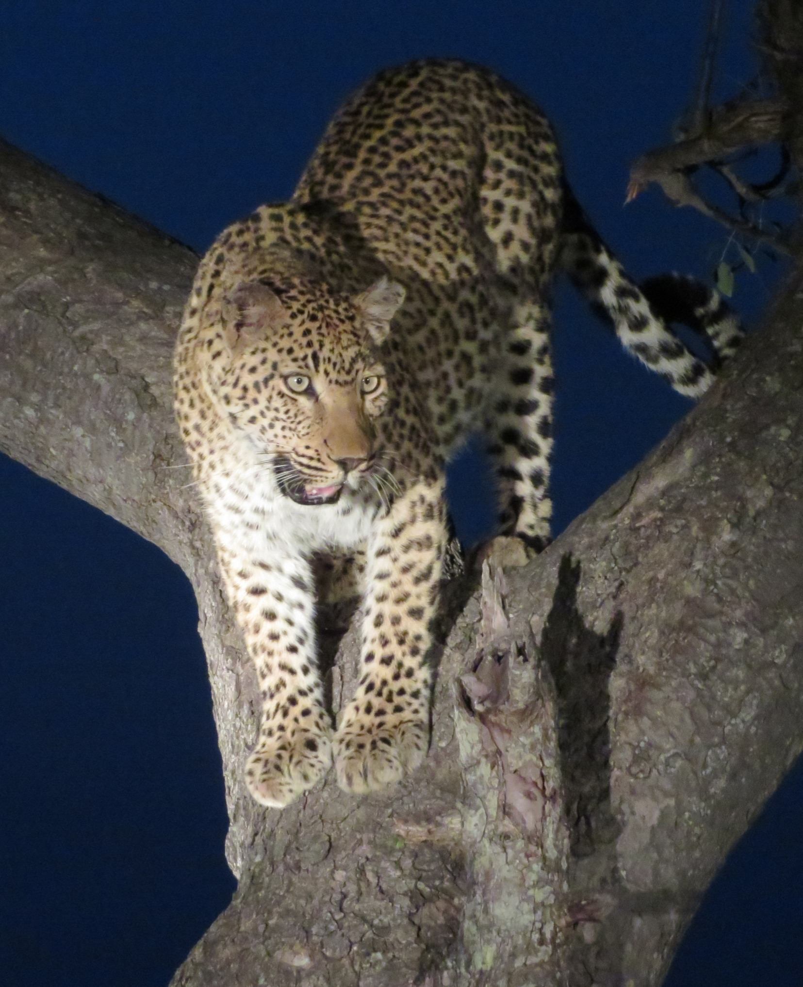 Makanyi female leopard hides in tree fro