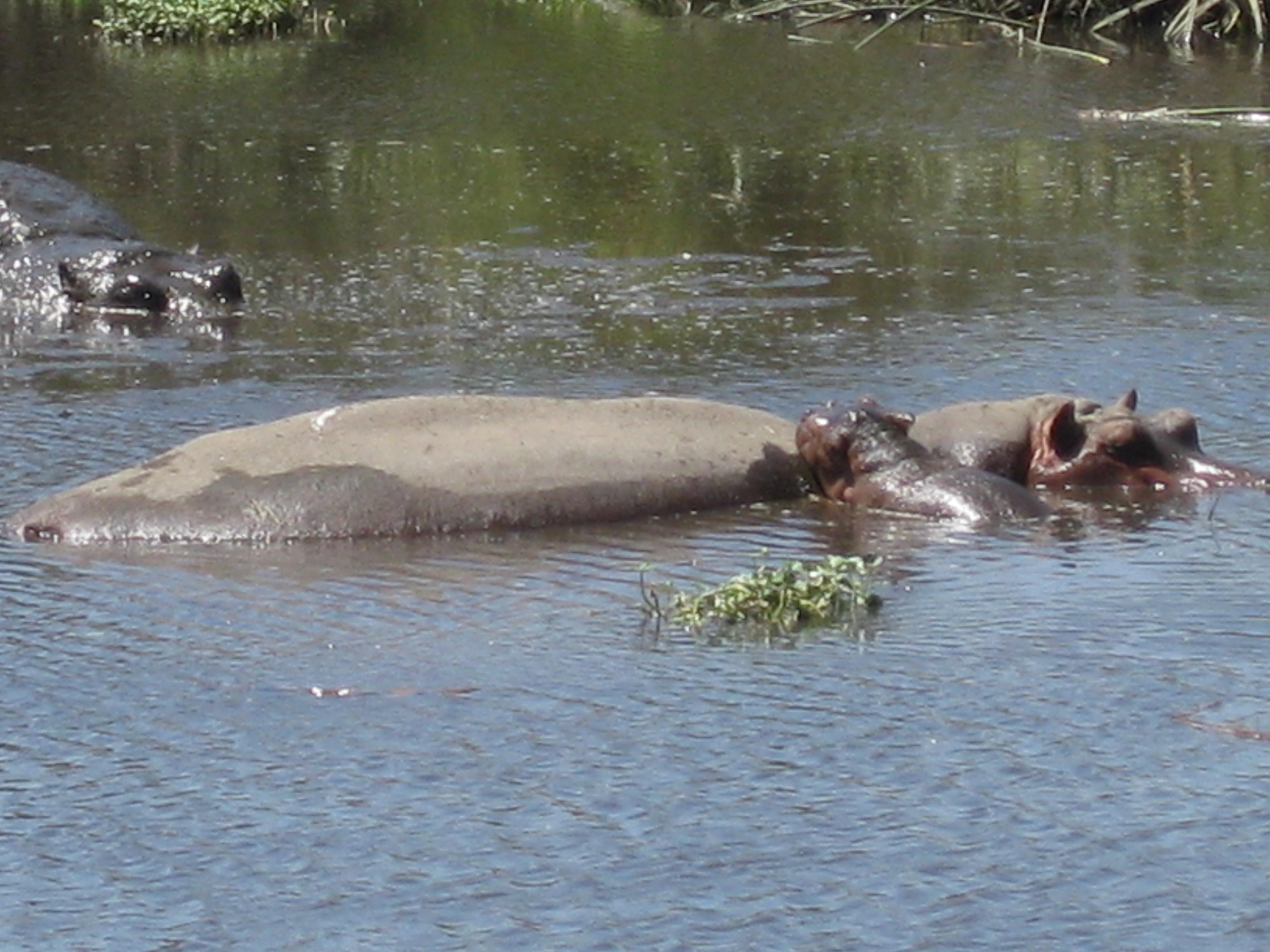 2008 Africa Tanzania hippos safari