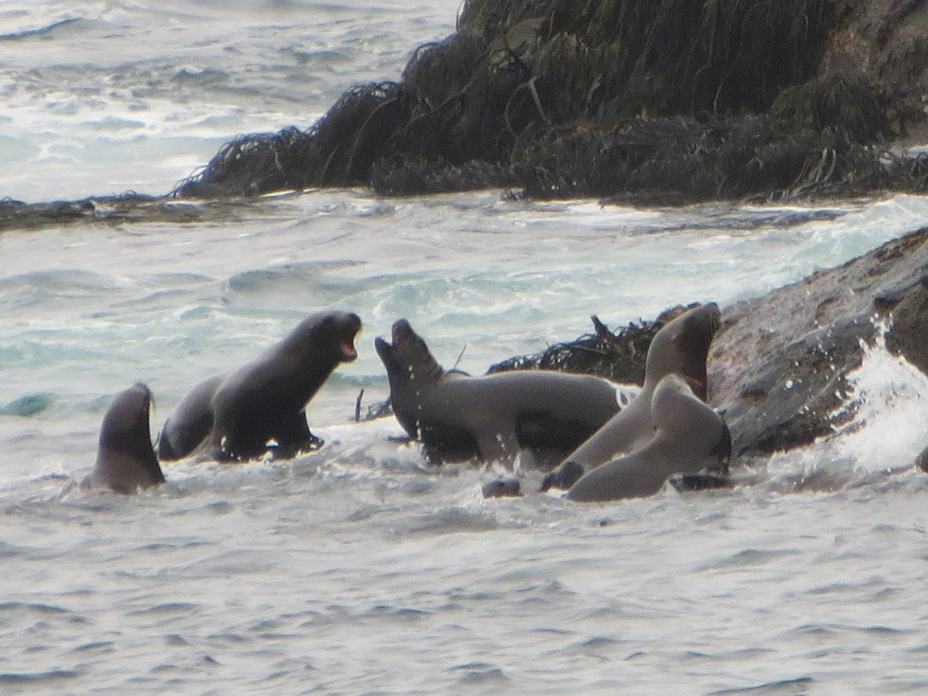 2013 Valparaiso sea lions Chile