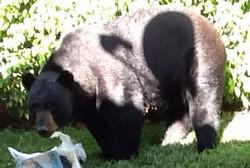 Black Bear at home 11.4.2014