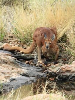 uluru best Kata Tjuta hike wild kangaroo MM 2 2016-12-13 096