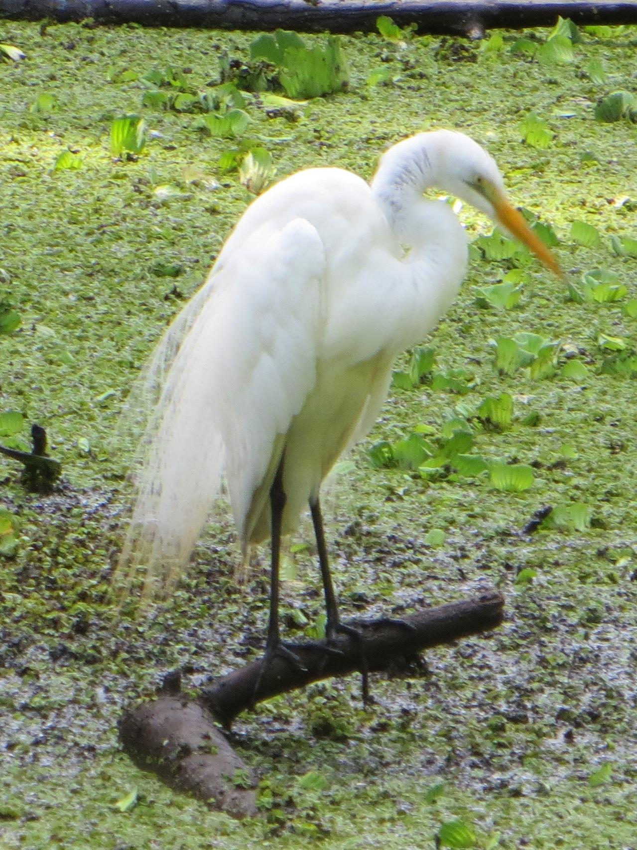 Corkscrew Sanctuary snowy egret 4.13