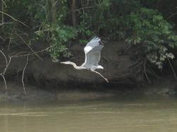 Costa Rica 11.12 bird in flight