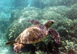 2008 Hawaii Kauai 08 snorkel turtle