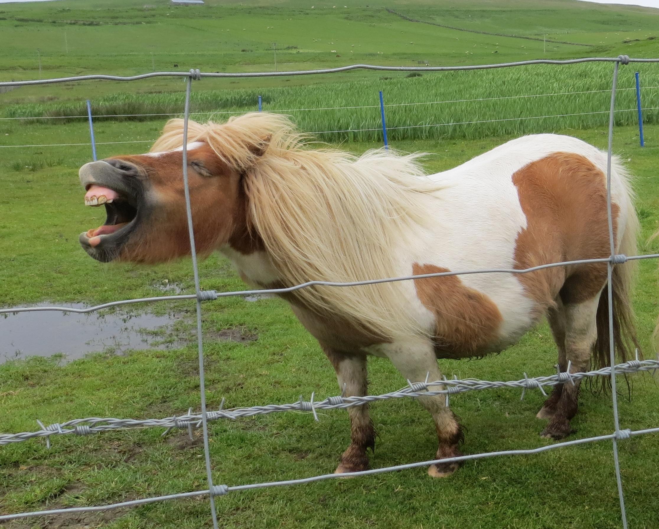 Shetland Islands, UK 6.29 best pony joke