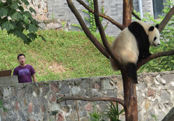 pandas big 2016-07-02 149