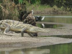 Costa Rica 11.12 crocodile